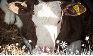 Honey Street Lodge resident cow